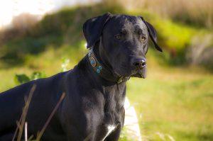 Οι Επιπτώσεις της Στείρωσης στη Συμπεριφορά των Σκύλων